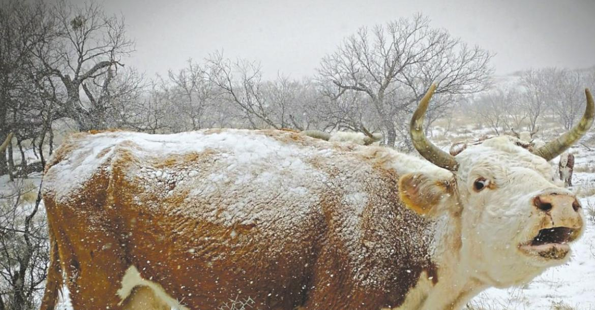 A momma hereford heifer cow braves the elements of winter storm Uri at the Hawley Ranch near Lake Kickapoo. Courtesy photo/Clay Reid